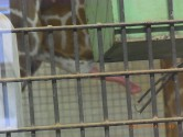 上野動物園のキリンさんのチ〇コ