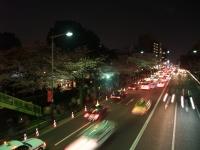 千鳥ヶ淵と靖国神社は満開です。
